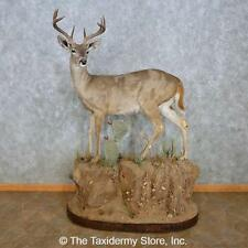 #15119 P+ | Coues Deer Taxidermy Shoulder Mount For Sale