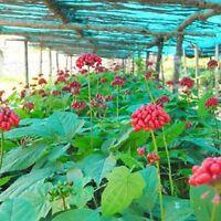 200+ Hardy Chinese / korea panax ginseng seeds  Wild ginseng seed Fresh seeds