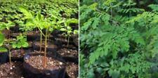 Organic Moringa Seeds | 1000 Seeds |  Semillas De Moringa | Moringa Oleifera