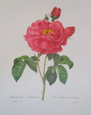 P.J. Redoute 121 Rosa Duches of Orleans vintage print