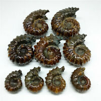 Natural Goat Horn ammonite fossil Ammonite Douvilleiceras Madagascar 60-70MM