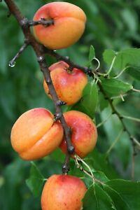 Aprikose Süßes Herz, Zuckeraprikose, Marille, zuckersüß und saftig, 1,20-1,40 m.