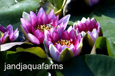 Red Hardy Water Lily Attraction spectacular pond brilliant bloom J & J Aquafarms