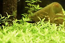 "Live Freshwater Fish- .5"" Chocolate Shrimp"