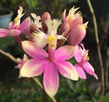 """Crucifix Orchid """" Wedding Valley """"' 2 Canes/ Spikes- As Shown In Pot"""