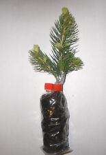 Majestic Blue Spruce, Picea Pungens Glauca,Christmas Tree, Plug Plants X 5