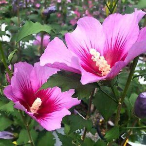 Rose of Sharon Seeds - Hibiscus syriacus - Althea Shrub Perennial Planting Seeds