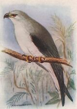 INDIAN BIRDS. The Black-winged kite 1943 old vintage print picture