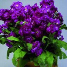 50+Purple Evening Stock Matthiola Flower Seeds / Reseeding Annual