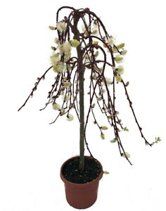 """Tree of Enchantment Mini Weeping Pussy Willow Tree - 6"""" Pot"""
