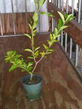 "Barbados, Acerola Cherry Tree Plant,  Live Plant, Pesticide Free 12"" cut back"