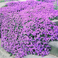 Creeping Thyme Seeds Rock Cress Seeds LH Perennial Potted Orchard Beautiful