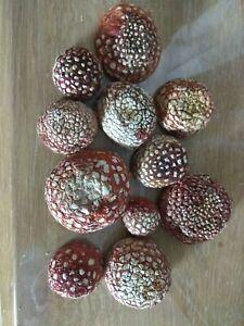 Greek Premium Wild amanita Caesarea Caesar's Dried Mushrooms Fungi 30g 1oz