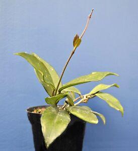 HOYA CARNOSA vaso 14 cm 1 Pianta di Fiore di cera
