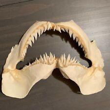 "7"" Snaggletooth Shark Jaw Hemipristis elongata RARE! Free Priority Shipping!"