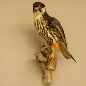 Falke Greifvogel Pr��parat Tierpräparat taxidermy mit Genehmigung zum Verkauf