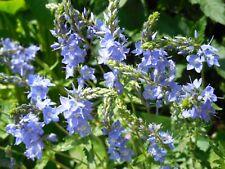Pflanze/Blume/Staude Ehrenpreis blau