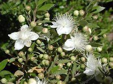 Myrtus communis 100 seeds Common Myrtle Mediterranean Plant Herb Garden
