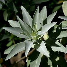 Salvia apiana White Sage, 25 seeds, fragrant shrub, xeriscape, smudge sticks