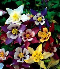 Aquilegia Mckana Giant Hybrids Appx 50 seeds - Perennials