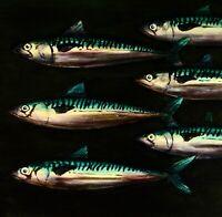 "MACKEREL SHOAL : ORIGINAL OIL PAINTING 20"" x 30"" Fishing Fish Art David Andrews"