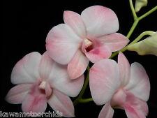 BIN- Den. Haleahi Blush 'Lake View' Blush Color! Very Nice! Easy to grow!