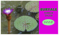 New Rare 6 viable Seeds Barbed water lily Euryale ferox Giant water lily 6 viab