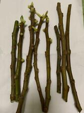 Fig cuttings from zone 6 - available varieties: 64