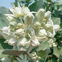 CALOTROPIS GIGANTEA*CROWN FLOWER White & Purple*MILKWEED WHITE THAI to 100 Seeds