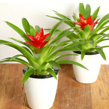 Guzmania Conifera Seeds Tillandsia Seeds Tillandsia Ionantha Seeds 100 Pcs