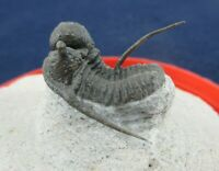 Detailed Spiny Devonian Cyphaspis Trilobite Fossil w Free Standing Spines