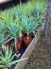 ALOE ARBORESCENS curativa + GRATIS Cactus