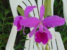 """Cattleya jenmanii var. rubra Flowers 4"""" wood slat basket Nice Species"""