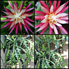 (1) Ric Rac CUTTING Cryptocereus Anthonyanus, Orchid Cactus, Fish Bone Succulent