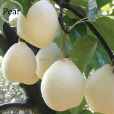 5 Seeds White Pear fruits Chinese Sand juicy fleshy sweet and delicious green