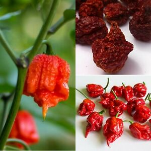 50 DRIED CAROLINA REAPER PEPPER pods- WORLD HOTTEST Pepper Quility Ceylon