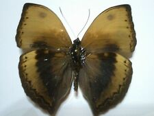 Real Dried Insect/Butterfly Non set B4028 Cymothoe hypatha  Africa