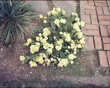 Opuntia humifusa EASTERN PRICKLY PEAR Hardy Cactus SEEDS!
