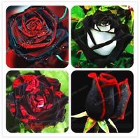 100 Pcs Seeds Rose Bonsai Black With Red Edge Rare Flowers Bonsai For Garden NEW