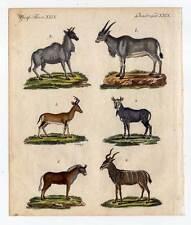 Antilopen und Gazellen-Gnu-Kudu etc.-Tiere - Kupferstich-Bertuch 1800