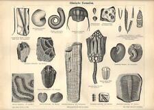 Stampa antica FOSSILI SILURIANO conchiglie molluschi 1890 Old antique print