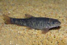 10 (ten) x Garra rufa (Doctor Fish)