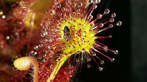 Drosera rotundifolia, 5 Pfl., rundblättriger Sonnentau