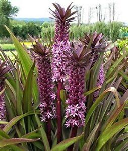 Eucomis Sparkling Burgundy Pineapple Lily Young Plant 9cm Pot x 3 Plants/Pots