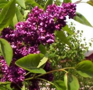 25 Dark Purple Lilac Seeds Tree Fragrant Hardy Perennial Flower Shrub Seed 368