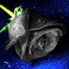200Pcs Mysterious Rare Black Rose Flower Plant Seeds Beautiful Black Rose sed