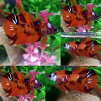 Nemo Galaxy S1 Halfmoon Plakat Male - IMPORT LIVE BETTA FISH FROM THAILAND