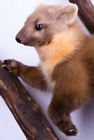Taxidermy mount Polecat Stuffed Ferret Hunting trophy Handmade Mammal