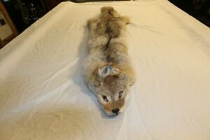 Coyote Taxidermy Fur Skin Pelt Head to Toe- Hide Tanned- Cabin Hunting Man Cave