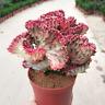 Succulent Cactus Live Plant -Euphorbia Neriifolia Var.cristata 10cm -Rare Plants